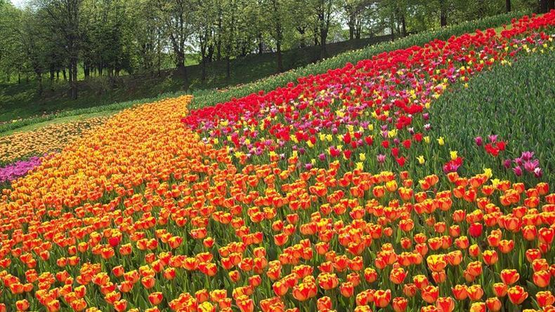 Выставка тюльпанов откроется на Певческом поле