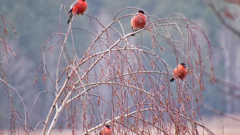 В Киевской области заметили красногрудых снегирей