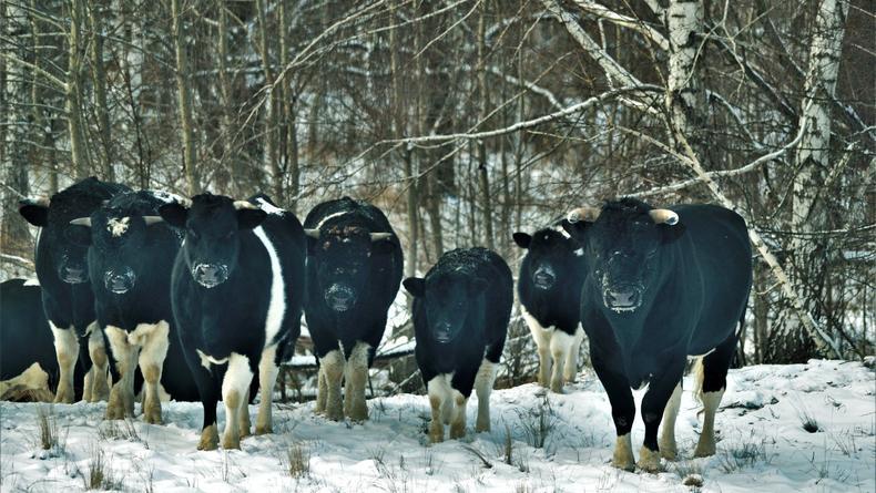 На территории Чернобыльского заповедника замечено стадо диких коров