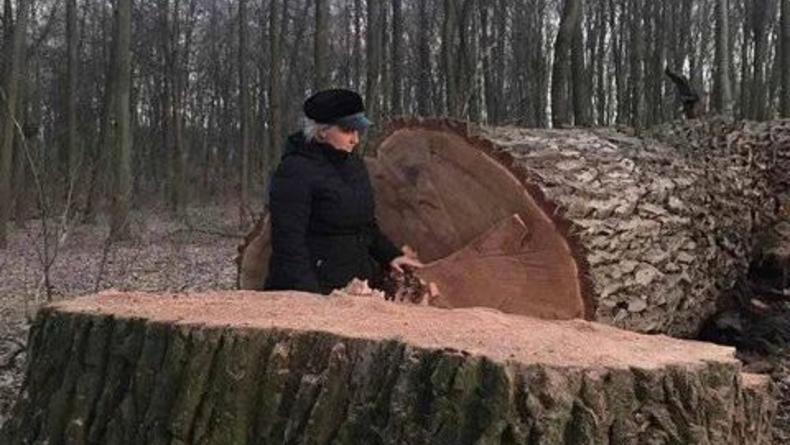 В Киеве уничтожили вековые дубы: Известна причина