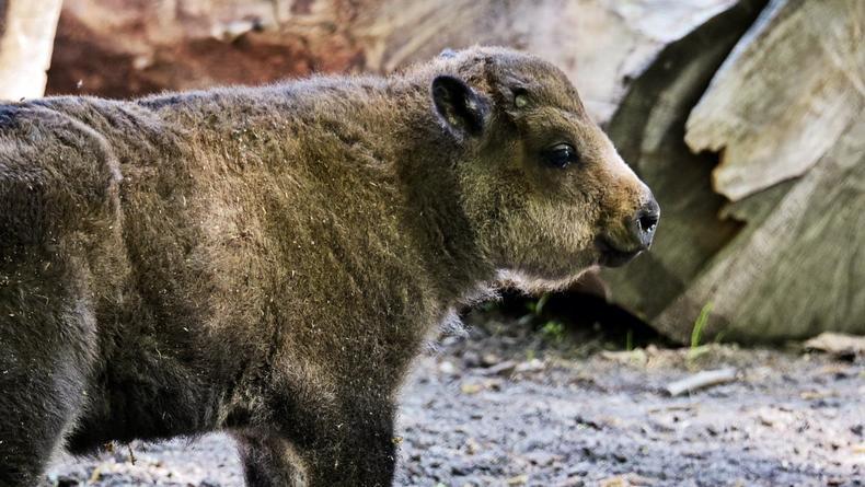 В Киевском зоопарке родился малыш бизона