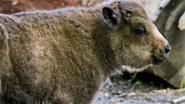 В Киевском зоопарке выбрали кличку для новорожденного бизоненка